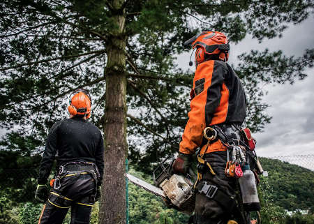 A rear view of arborist men with chainsaw cutting a tree, planning.