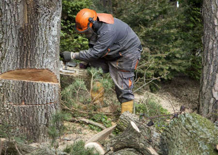 Forestry worker - lumberjack works with chainsaw. He cuts a big  tree in forest. Lumberjack has protective clothes. Shooting with the Canon EOS 5D Mark II.